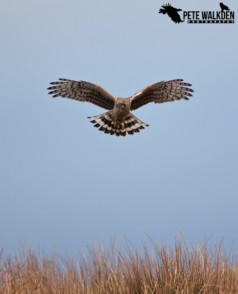 Mull Wildlife - Hen Harrier