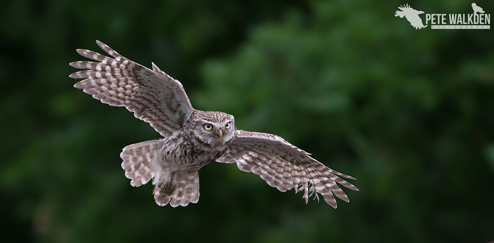 Little Owl In Flight