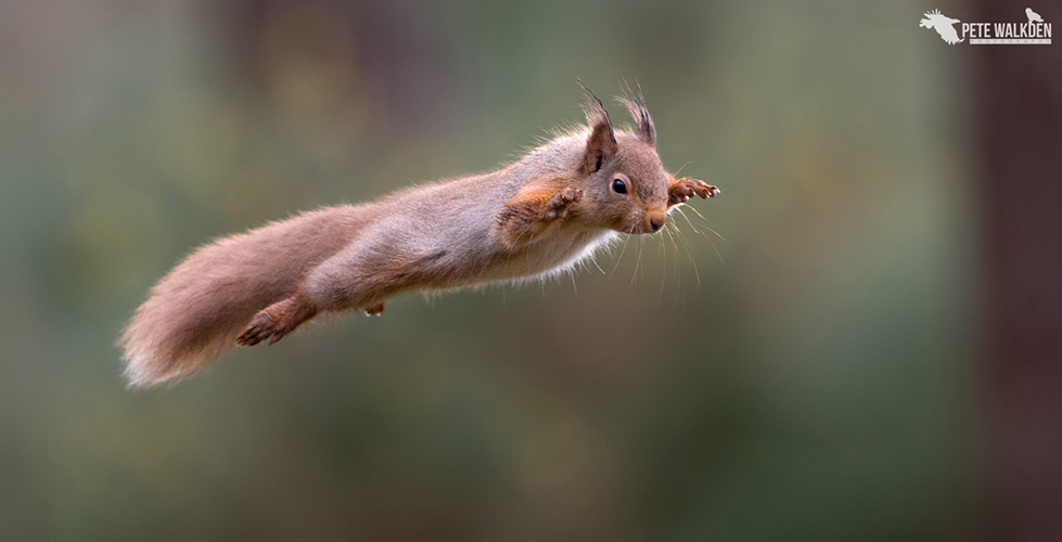 Highlands Wildlife - Jumping red squirrel