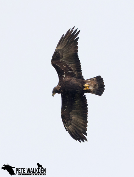 Mull Wildlife - Golden Eagle