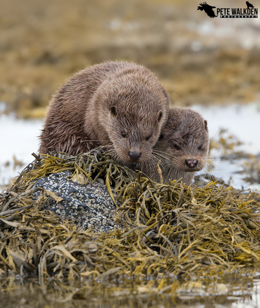Mull Wildlife - Otters