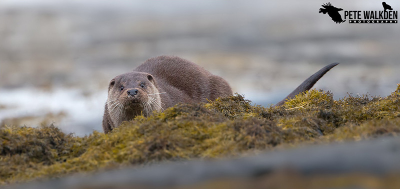 Mull Wildlife - Otter