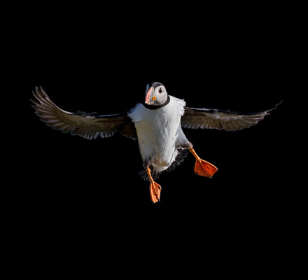 PuffinFlying