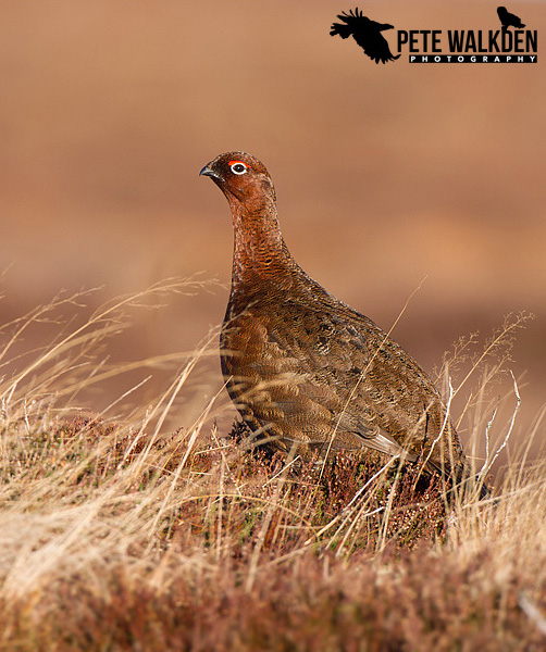 Highlands Wildlife - Red Grouse