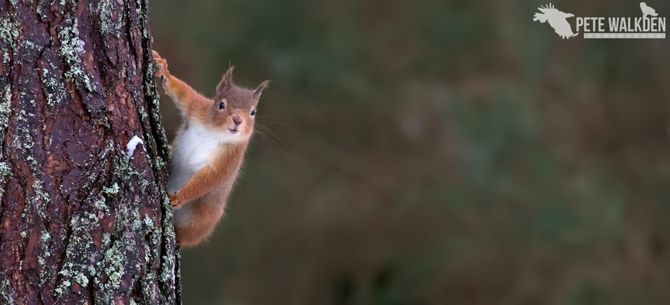 Highlands Wildlife - Red Squirrel