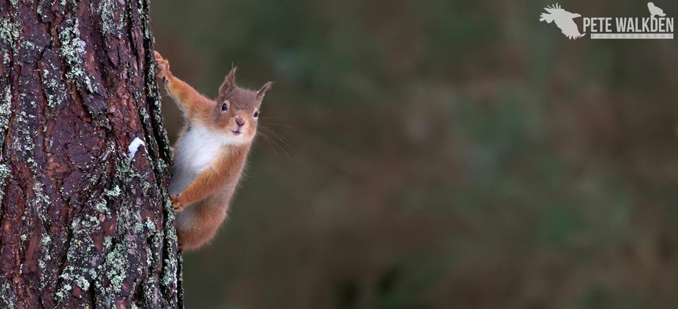 Highlands Wildlife - Red Squirrel