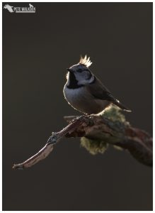 Highlands Wildlife - Crested Tit