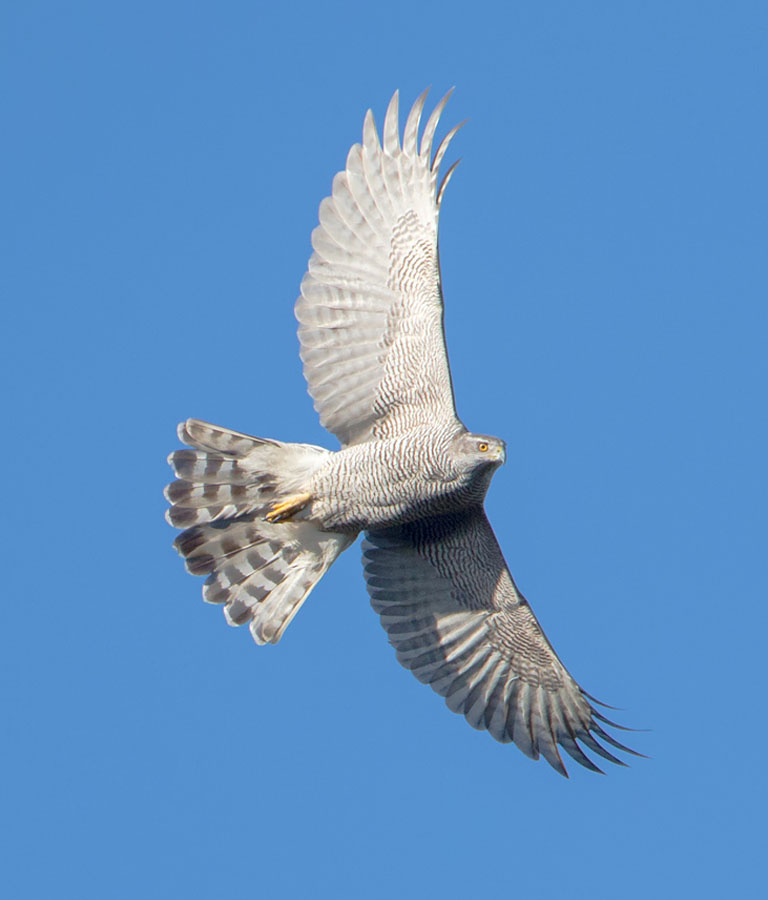 Goshawk_LinkImage