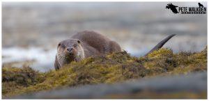 Mull Wildlife - Otter