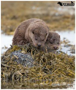Mull Wildlife - Otters