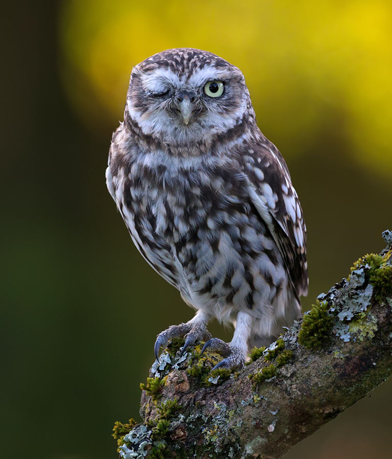 LittleOwl_LinkImage