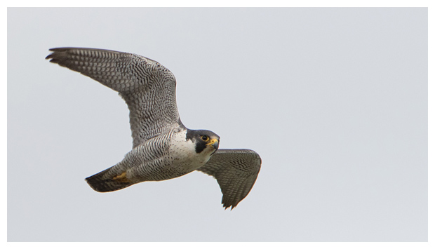 Peregrine_hunting