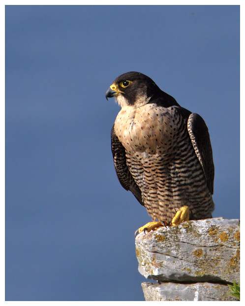 Peregrine_perched