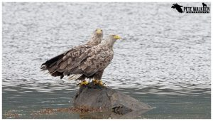 Mull Wildlife - White-tailed eagles