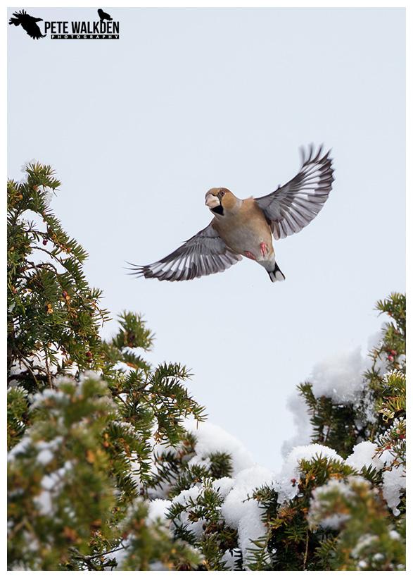 Hawfinch