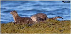 Otters On Mull