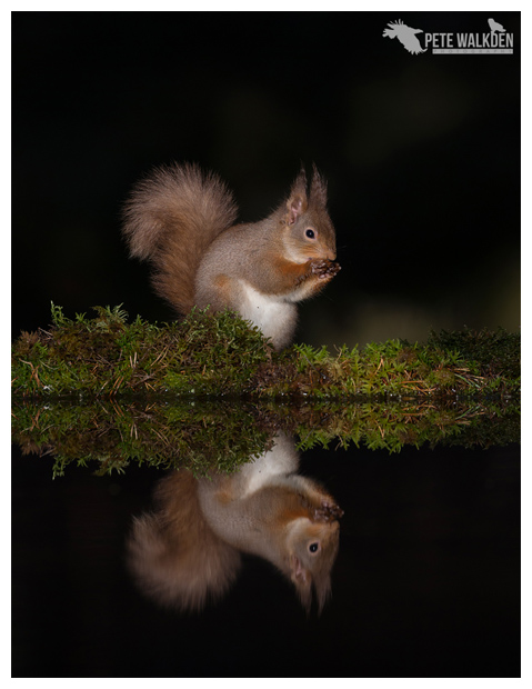 Red Squirrel On Reflection Pool
