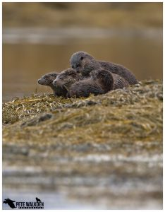Otter Family Group