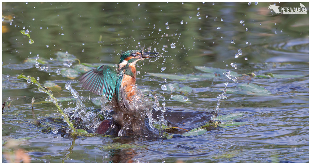 Kingfisher bursts up out of the water