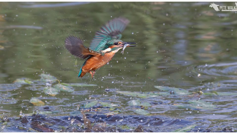 Kingfisher flies off with fish