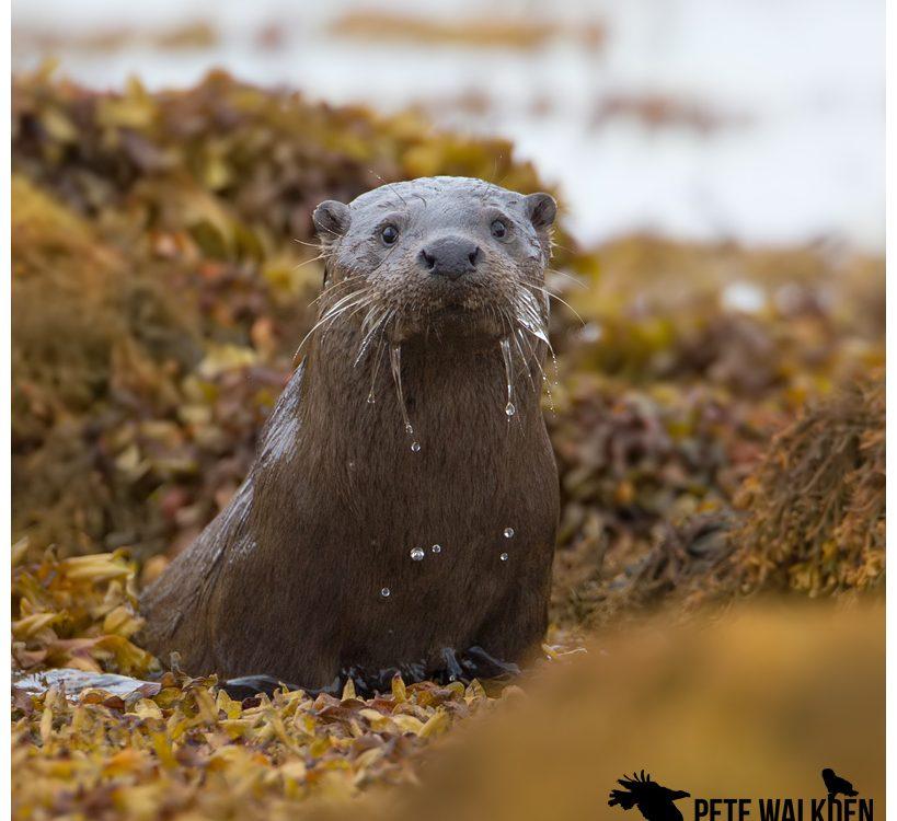 Mull Otter Tour 2019