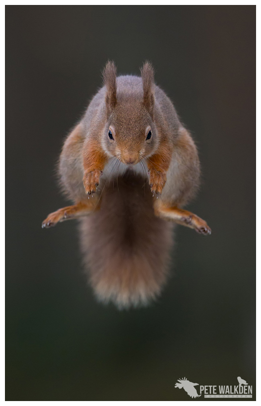 Symmetric Squirrel