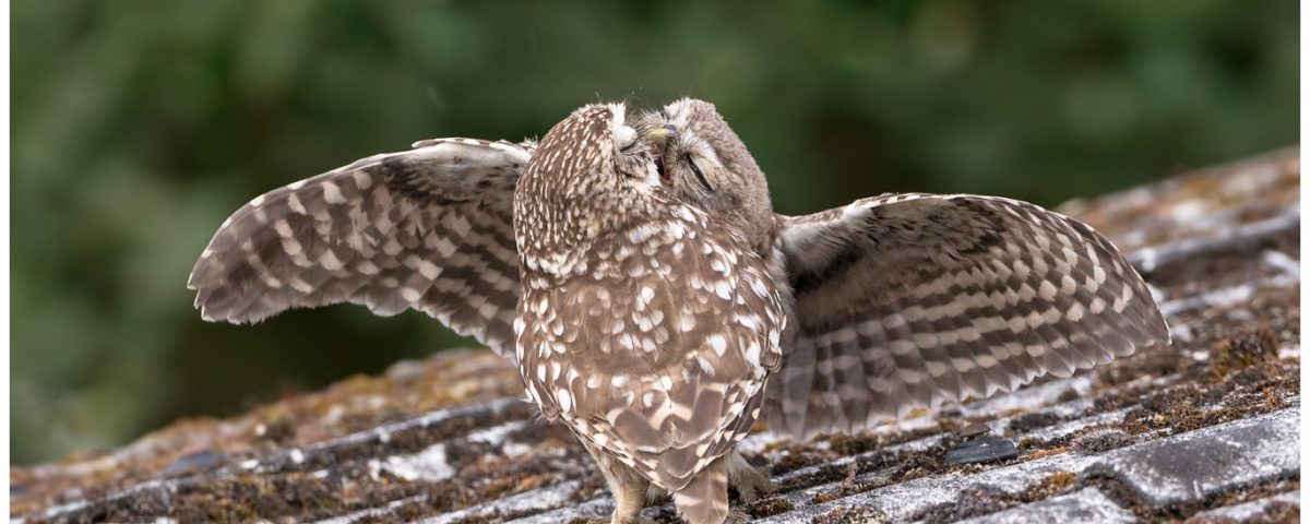 Little Owls Feeding