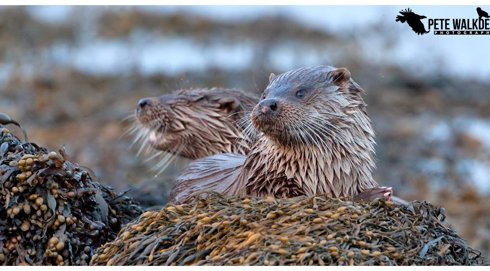 Mull Otters