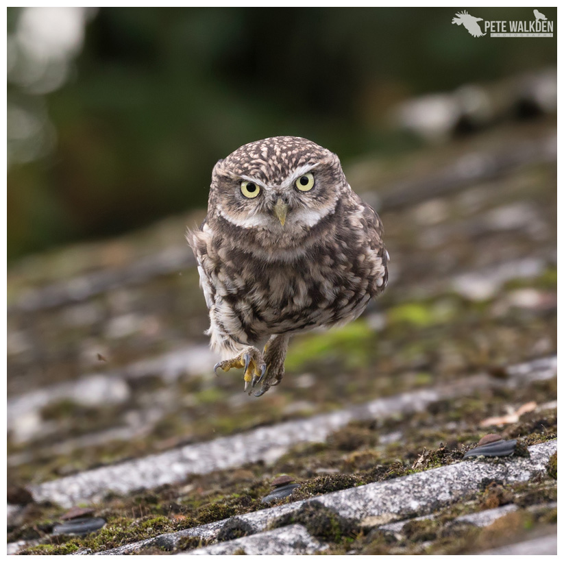 Little Owl Running