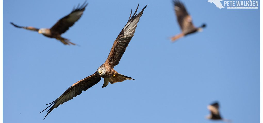 Red kites feeding