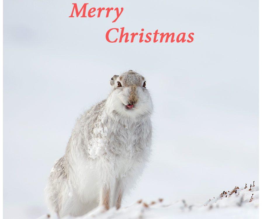 Cheeky mountain hare