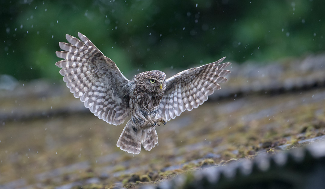 Little owl flying in the rain