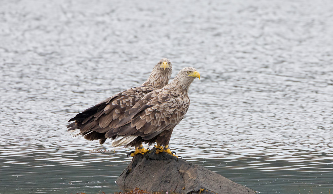 White-tailed eagles