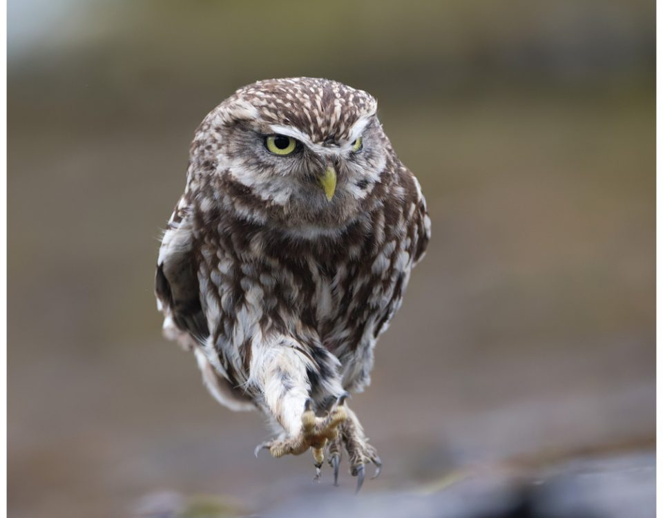 Little owl scuttling along...