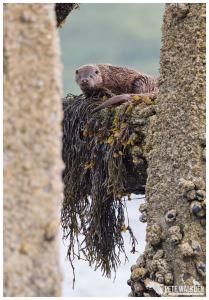 Otter on pier