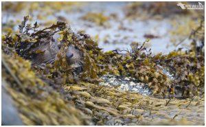 Cub in seaweed
