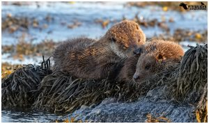 Otter mother with cub