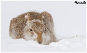 Bagpuss - Mountain Hare