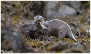 Otter mother with food for cub