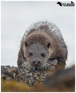 Otter over rocks