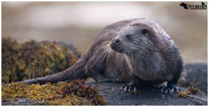 Female otter