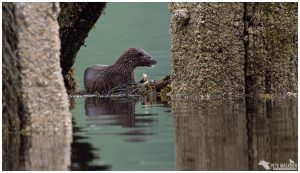 Otter on green water