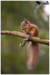 Red Squirrel Kit