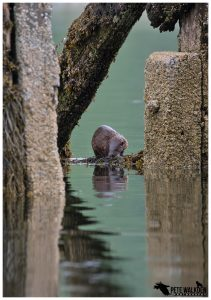 Otter at high tide