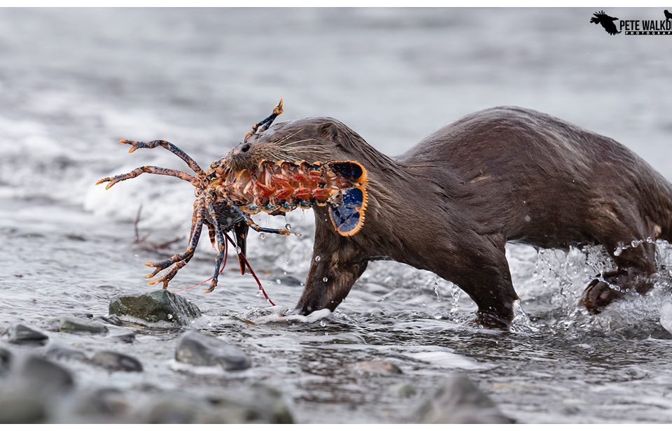 Otter With Lobster