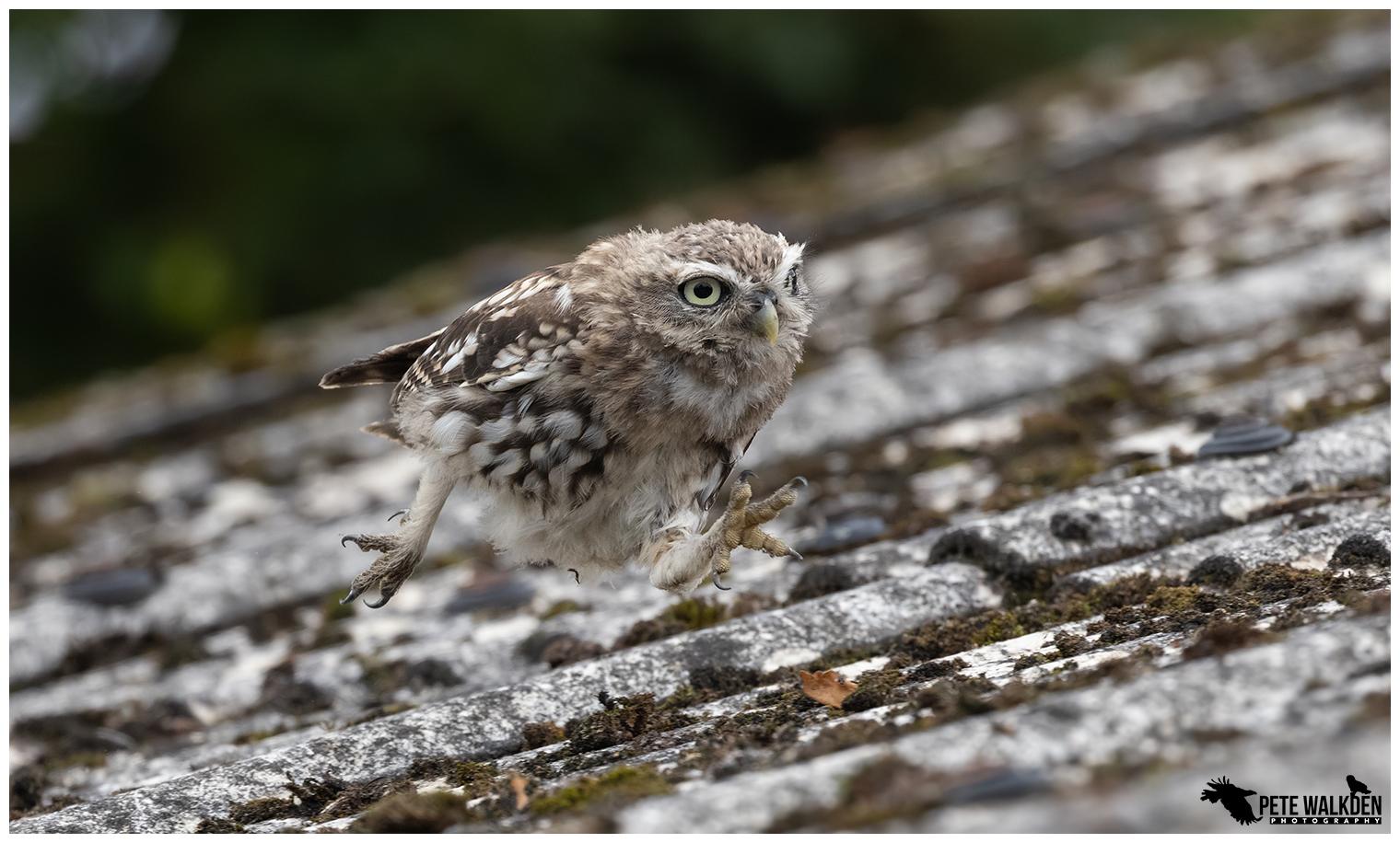 Little Owl Running